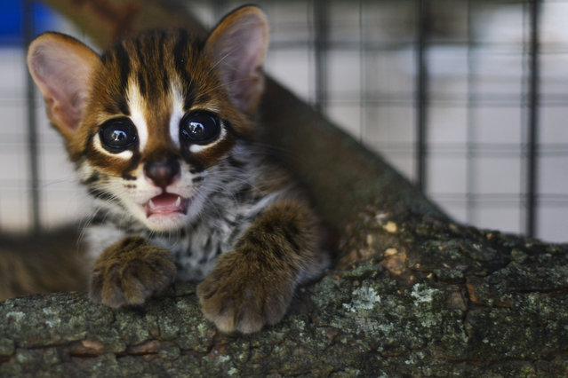 A rescued baby Asian leopard cat is seen at a natural resources conservation agency (BKSDA) in Banda Aceh, Indonesia on November 5, 2019. (Photo by Chaideer Mahyuddin/AFP Photo)