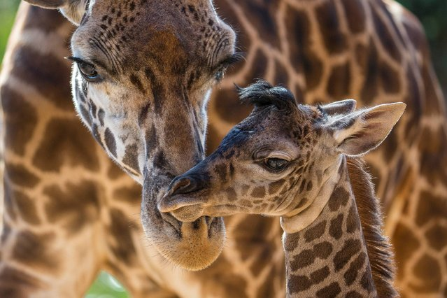 In this image provided by the San Diego Zoo, Harriet, a Masai giraffe, attends to her four-day-old calf at the San Diego Zoo Thursday June 19, 2014. The male was born on June 16, standing 6 feet 2 inches tall and weighing 146 lbs. This is Harriet's second calf; the little one�s father is Silver, the herd's sire. (Photo by Ken Bohn/AP Photo/San Diego Zoo)