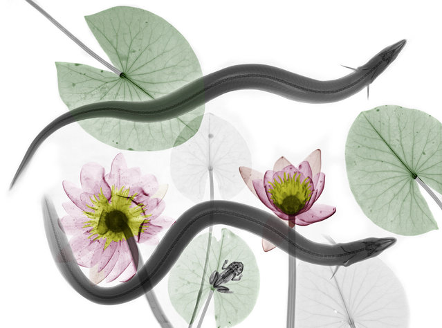 Coloured X-ray of a pair of eels and water lilies. A physicist has used X-ray to create an extraordinary collection of artwork. Arie van't Riets pictures reveal birds, fish, monkeys and flowers in an incredible new light. The 66-year-old, from Bathmen in the Netherlands, began X-raying flowers as a means to teach radiographers and physicians how the machine worked. But after adding a bit of colour to the pictures, the retired medical physicist realised the potential for an exciting new collection of art. (Photo by Arie van't Riet/Barcroft Media)