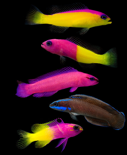 The bicolour dottyback inhabits coral reefs in the Indo- Pacific ocean at depths down to 27m (90ft). (Photo by Danté Fenolio/The Guardian/Johns Hopkins University Press)