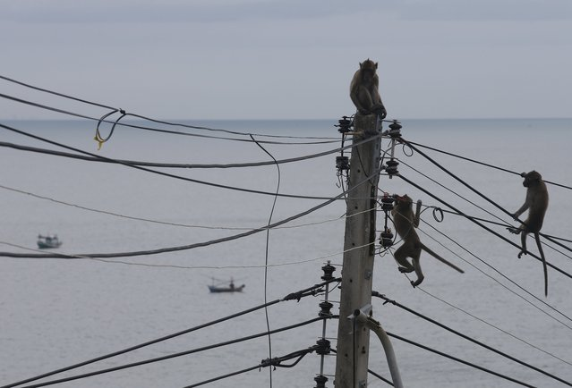 Monkeys climb on the cables at the Wat Khao Takiab temple area in Hua Hin city, Prachuap Khiri Khan Province, Thailand, 15 July 2017. (Photo by Narong Sangnak/EPA/EFE)