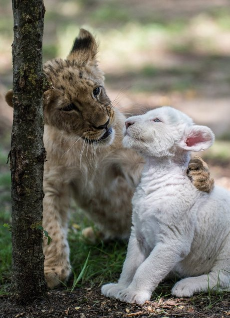 A ten-week-old male lion cub named Cecil (L) plays with Zahra, the four-week-old female white lion cub in their enclosure in Magan Zoo, a privately owned animal park in Felsolajos, 67 kms southeast of Budapest, Hungary, 30 June 2016. Zahra, who was born into a litter of four, was rejected by her mother because of an infectious disease. Zahra is now healed and raised by zoo keepers together with Cecil, a ten-week-old white lion cub who was born by Caesarean section on zoo premises. (Photo by Sandor Ujvari/EPA)