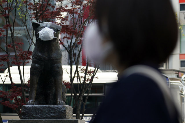 """A statue of a Japanese Akita dog named """"Hachiko"""" wearing a face mask is seen near Shibuya Station Wednesday, April 8, 2020, in Tokyo. Japanese Prime Minister Shinzo Abe declared a state of emergency on Tuesday for Tokyo and six other prefectures to ramp up defenses against the spread of the new coronavirus. Hachiko has waited for his owner University of Tokyo Prof. Eizaburo Ueno at the same place by the station every afternoon, expecting him to return home for nearly 11 years even after Ueno's death at work. (Photo by Eugene Hoshiko/AP Photo)"""