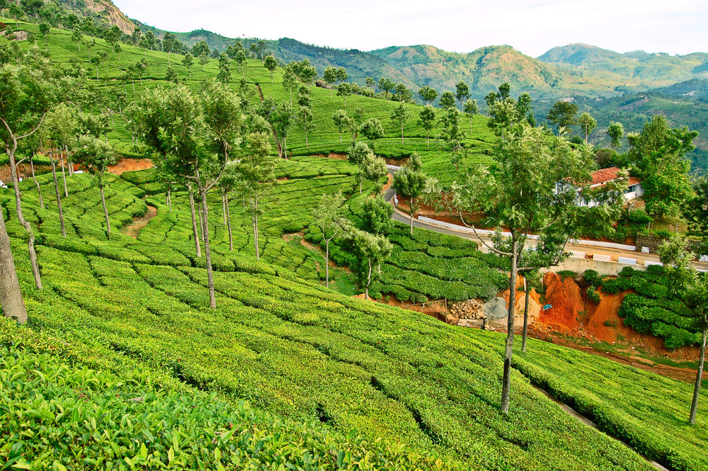 The Sprawling Tea Estates of Coonoor