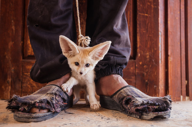 Fennec foxes are captured for the illegal pet trade. This three-month-old pup was for sale in a market in southern Tunisia. (Photo by Bruno D'Amicis/Photographers Against Wildlife Crime/Wildscreen/The Guardian)