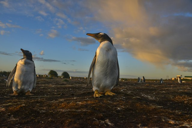 As the sun rises, Gentoo penguins start their day on Wednesday, February 17, 2016, on Sea Lion Island, Falkland Islands. Sea Lion Island, which lies about 10 miles to the south of mainland East Falkland, is the southern most human-inhabited island of the more than 750 islands and islets of the Falkland Islands. (Photo by Jahi Chikwendiu/The Washington Post)