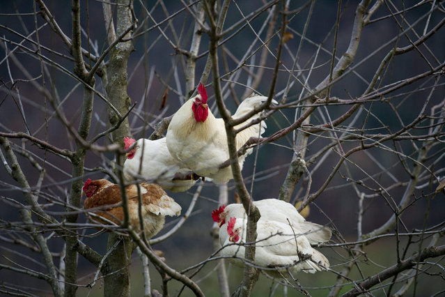 A picture made available on 26 November 2012 shows chickens siting in a cherry tree at a farm in Ibach, Switzerland, 25 November 2012. (Photo by Sigi Tischler/EPA)