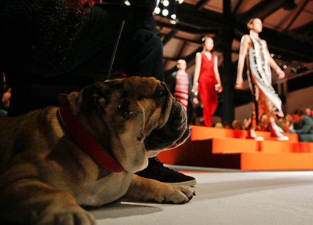 Johnny the Bulldog rests as models wear a creations for Missoni women's Spring-Summer 2016 collection, part of the Milan Fashion Week, unveiled in Milan, Italy, Sunday, September 27, 2015. (Photo by Luca Bruno/AP Photo)