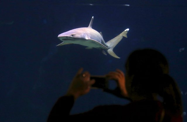 A tourist takes a photograph of a shark swimming behind a glass window at the Sydney Aquarium, Australia, September 29, 2015. Shark experts from around the world are meeting at a summit in Sydney today to discuss the best technologies available to stop shark attacks after a numerous attacks and sightings this year, including a fatal attack on a Japanese surfer in February, local media reported. (Photo by David Gray/Reuters)