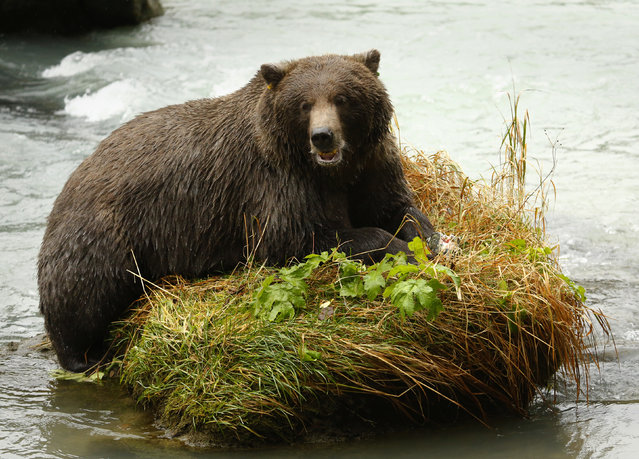 A coastal brown bear eats a salmon in the Chilkoot River near Haines, Alaska, October 9, 2014. (Photo by Bob Strong/Reuters)