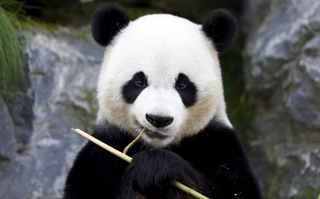 Xing Hui, a 6-year-old giant panda born in China, eats bamboo at the Pairi Daiza wildlife park in Brugelette, Belgium September 28, 2015. Belgian researchers are examining the excrements of giant pandas to understand how the bears can digest tough bamboo, hoping for clues on how to develop new generations of biofuel. (Photo by Francois Lenoir/Reuters)