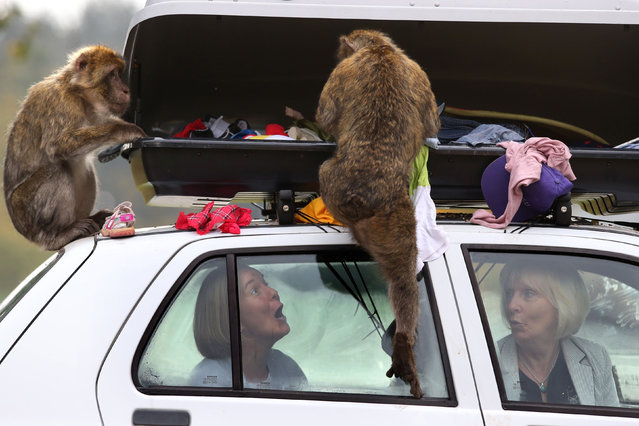 Sasha Muir and Margaret Davidson sit in a car as some of the 30 barbary macaques, known as the Middle Hill Troop after living between the top of Gibraltar rock and the town, show what happens when motorists forget to lock their luggage compartments, as Scotland's only monkey drive-through section opens at Blair Drummond safari park in Stirling, Scotland on October 8, 2015. (Photo by Andrew Milligan/PA Wire)