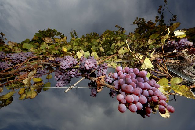 Bunches of Gewurztraminer grapes hang from the vine in a vineyard in Alsace, before harvest in Orschwihr, France, October 12, 2015. (Photo by Jacky Naegelen/Reuters)