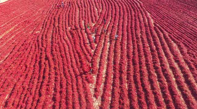 An aerial view of local farmers drying newly harvested chili peppers in the field as autumn comes, Kuqa county-level city, Aksu prefecture, northwest China's Xinjiang Uyghur Autonomous Region on October 7, 2020. (Photo by Rex Features/Shutterstock)