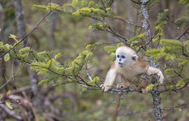 Photo taken on October 11, 2020 shows a golden monkey at Dalongtan Golden Monkey Research Center in Shennongjia National Park of central China's Hubei Province. With the efforts of local authority and improvement of the environment in the past many years, the number of golden monkeys in Shennongjia area reached nearly 1,500 nowadays. (Photo by Xinhua News Agency/Rex Features/Shutterstock)