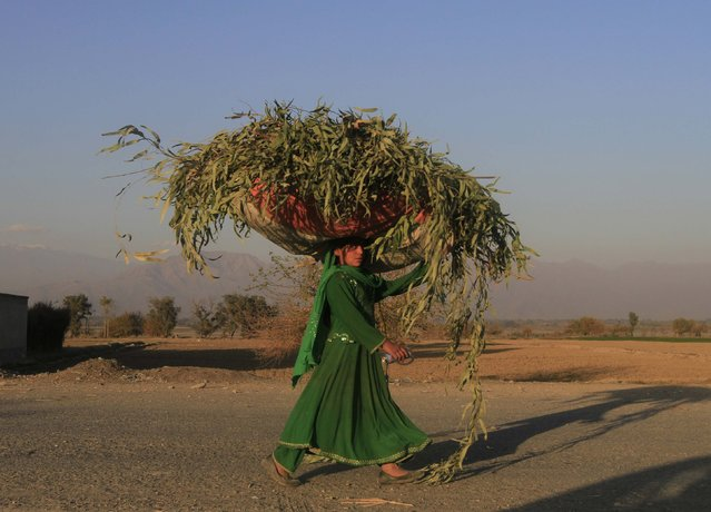 An Afghan woman carries a sack of grass on her head along a road in Nangarhar province, December 2, 2014. (Photo by Reuters/Parwiz)