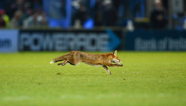 A fox runs out onto the pitch before the start of the second half. Celtic League 2012/13, Round 19, Leinster v Ulster, RDS, Ballsbridge, Dublin, March 30, 2013. (Photo by James Crombie)