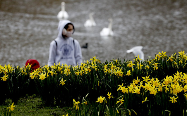 A pedestrian wearing a face covering due to the Covid-19 pandemic walks past blooming daffodils in a park in London, Friday, February 19, 2021 as the lockdown in Britain continues. Britain has given a first vaccine shot to over 15 million people, almost a quarter of the population. (Photo by Frank Augstein/AP Photo)