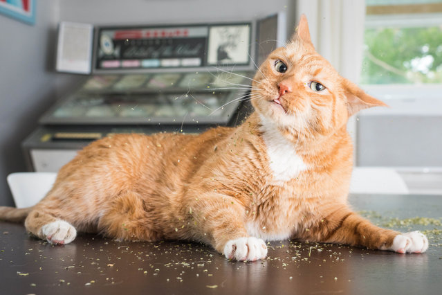 """Of all the photos I've taken over the years, the catnip photos were the most enjoyable"", said Marttila. (Photo by Andrew Marttila/Caters News Agency)"