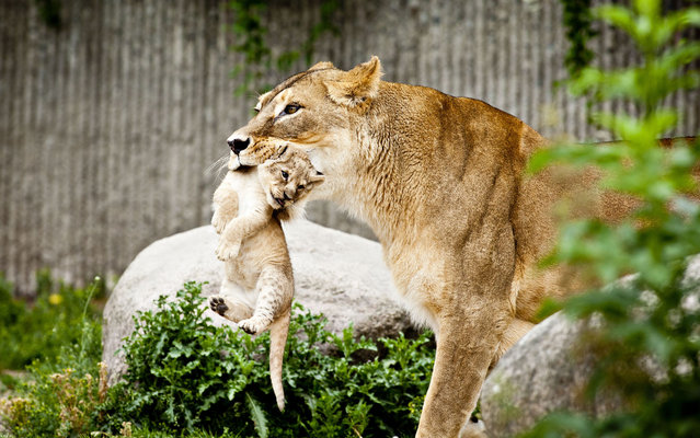 A lioness carries one of her two lion cubs, a male and a female, as they are presented to the public for the first time in Copenhagen Zoo on Wednesday, July 17, 2013. The two lion cubs were born on June 6. (Photo by Marcus Trappaud Bjoern/AP Photo/Polfoto)