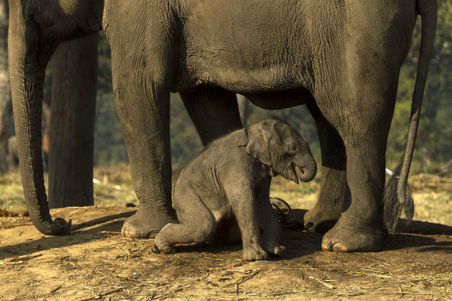A ten-day-old baby elephant sits with his mother elephant at an elephant breeding center in Sauraha, Chitawan, some 154 kilometer from the capital of Kathmandu, Nepal, 28 December 2015. (Photo by Hemanta Shrestha/EPA)