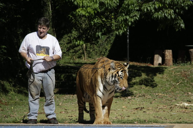 Ary Borges stands with his tiger Tom on a leash in his backyard in Maringa, Brazil, Thursday, September 26, 2013.  The Borges family is now locked in a legal dispute for the cats, with federal wildlife officials working to take the animals away. While Borges does have a license to raise the animals, Brazilian wildlife officials say he illegally bred the tigers, creating a public danger. (Photo by Renata Brito/AP Photo)