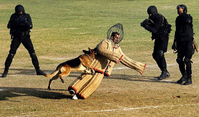 A dog chases a mock intruder during a function to celebrate the 29th Raising Day of the Indian National Security Guard in Manesar, about 38 miles south of New Delhi, on Oktober 16, 2013. The NSG is a federal contingency force established in 1984 and a quick reaction elite force for neutralizing militants, hijackers and kidnappers in situations which are beyond the capability of local forces to handle. (Photo by Anindito Mukherjee/Reuters)
