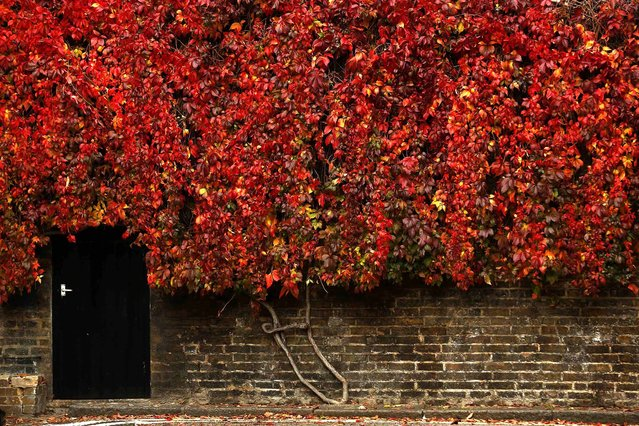 A small door is cut into a wall of bright red Virginia Creeper in London, October 18, 2013. (Photo by Luke MacGregor/Reuters)