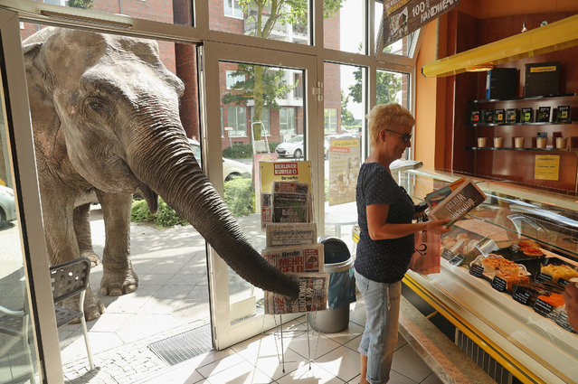 Maja, a 40-year-old elephant, extends her trunk into a bakery as a customer buys a newspaper while Maja took a stroll through the neighborhood with her minders from a nearby circus on July 1, 2016 in Berlin, Germany. (Photo by Sean Gallup/Getty Images)