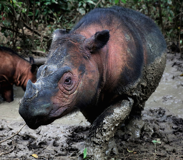 A Sumatran rhino, one of the most endangered mammals on Earth. The sixth mass extinction of wildlife on Earth is accelerating, according to an analysis by scientists, who warn it may be a tipping point for the collapse of civilisation. More than 500 species of land animals were found to be on the brink of extinction and likely to be lost within 20 years. (Photo by Rhett Buttler/Mongabay/PA Wire)