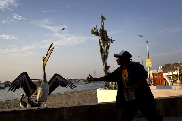 Fisherman Luis Farfan feeds a pelican near the dock in Paracas, Peru, Thursday, April 16, 2015. Farfan feeds the birds to attract tourists and ask for tips, which he said he does when he's not hired to join a fishing crew. (Photo by Rodrigo Abd/AP Photo)