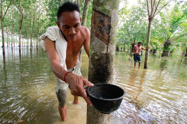 Phon Tongmak, a rubber tree farmer, adjusts a cup at his flooded rubber plantation at Cha-uat district in Nakhon Si Thammarat Province, southern Thailand, January 18, 2017. (Photo by Surapan Boonthanom/Reuters)