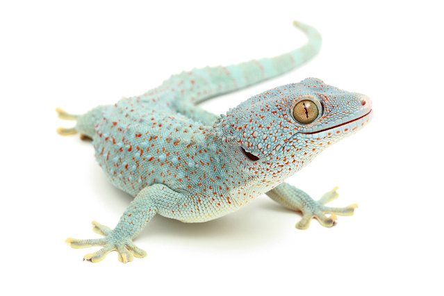 Gecko. (Photo by Mickael Leger/Caters News)