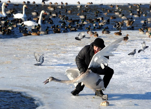 An ornithologist catches a swan on the lake Drozdy near the Belarus capital Minsk, on January 23, 2014, to ring the bird for its future identification. (Photo by Viktor Drachev/AFP Photo)
