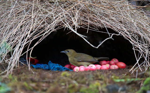 Animal Architects Bowerbirds Design
