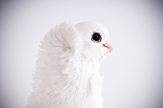 Old German Owl. Darwin's Pigeons series. (Photo by Photo by Richard Bailey/Caters News)