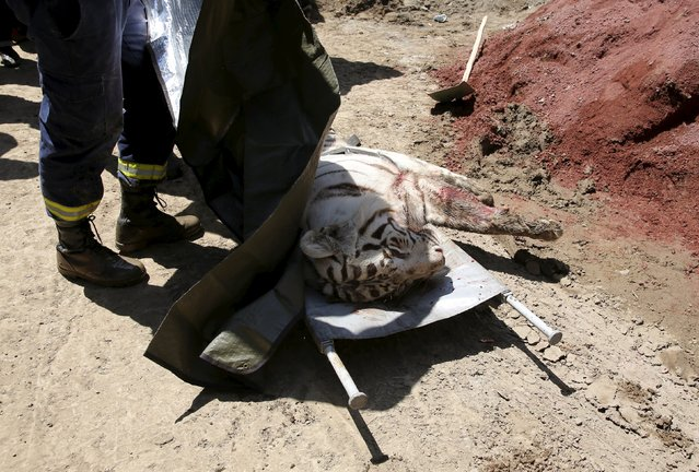 A white tiger, that had escaped from its enclosure during flooding, lies on the stretchers after it was killed by police in Tbilisi, Georgia, June 17, 2015. Tigers, lions, bears and wolves were among more than 30 animals that escaped from a Georgian zoo and onto the streets of the capital Tbilisi on Sunday during floods that killed at least 12 people. REUTERS/Stringer