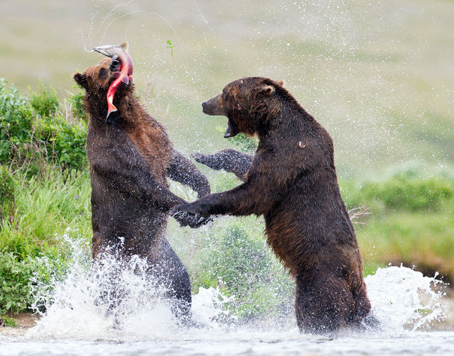 This is the FUR-ocious moment two bears were caught making a splash as they fought over dinner. The GRIZZLY situation unfolded after one of the bears managed to a catch a tasty salmon as the other had struggled to catch anything at all. (Photo by Tin Man Lee/Caters News)