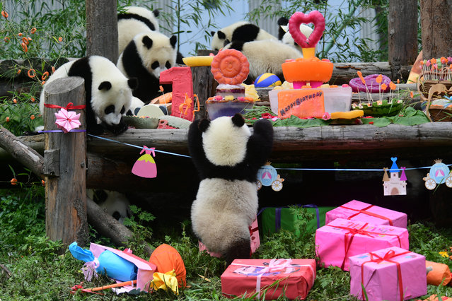 Giant panda cubs born in 2018 eat and play during a group birthday celebration at Shenshuping panda base in Wolong, Sichuan province, China on July 25, 2019. (Photo by Reuters/China Daily)