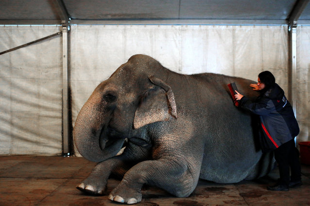 """An elephant is groomed before performing in Ringling Bros and Barnum & Bailey Circus' """"Circus Extreme"""" show at the Mohegan Sun Arena at Casey Plaza in Wilkes-Barre, Pennsylvania, U.S., April 29, 2016. (Photo by Andrew Kelly/Reuters)"""