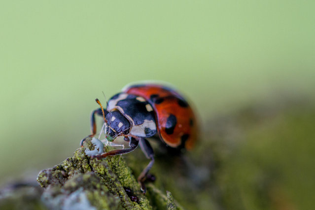 A harlequin ladybird, known for its voracious appetite, eating a greenfly in Burley in Wharfedale, West Yorkshire, England. (Photo by Rebecca Cole/Alamy Stock Photo)