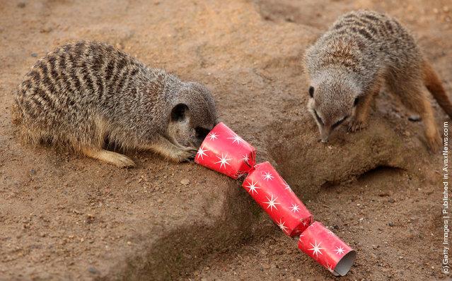 Christmas Treats For Meerkats