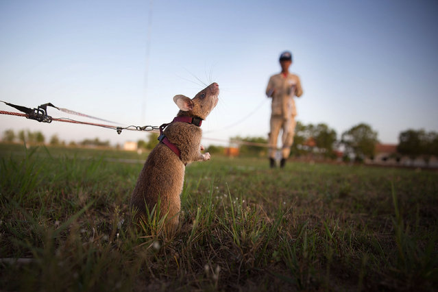 A rat searches for land mines and unexploded ordnance during a training session on July 2, 2015 in Siem Reap, Cambodia. The Cambodian Mine Action Center (CMAC) working with the Belgian NGO APOPO has recently begun testing the feasability of using large mine detection rats from Tanzania to help clear fields of mines and unexploded ordnance in one of the most bombed and mined countries in the world. (Photo by Taylor Weidman/Getty Images)