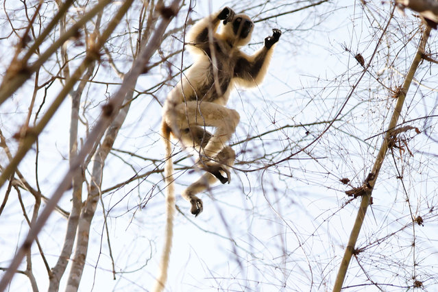 A Verreaux's sifaka lemur jumps between trees at the Kirindy forest reserve near the city of Morondava, Madagascar, September 1, 2019. (Photo by Baz Ratner/Reuters)