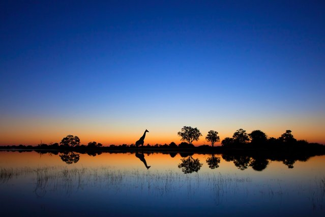 A majestic giraffe – the world's tallest animal – wandered across a hot delta at sunrise to complete this stunning scene. (Photo by Solent News and Photo Agency)
