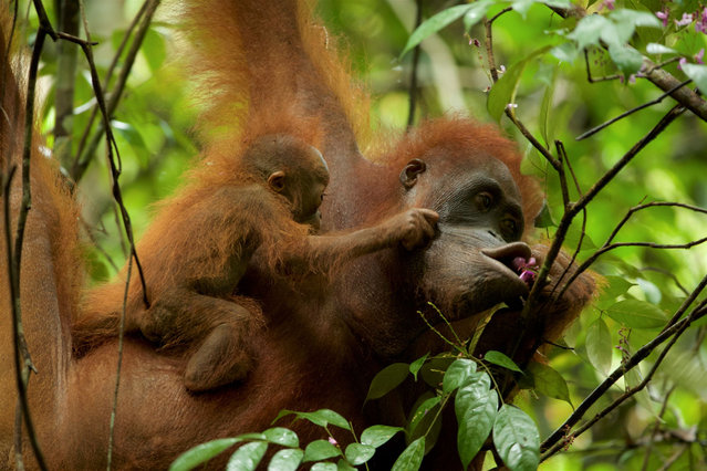 Orangutans in the Gunung Palung national park in Borneo, Indonesia, home to the largest wild population of the animals on the planet. One of the winners of the 2019 Whitley awards, Wendi Tamariska is the sustainable livelihoods manager for the Gunung Palung orangutan conservation programme, which empowers local communities to protect their dwindling forests and the orangutans within them. (Photo by Tim Laman/2019 Whitley Award)