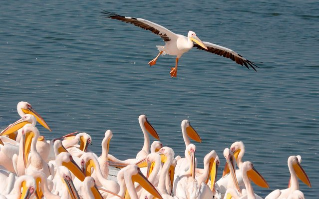 Great white pelicans are pictured at a reservoir in Mishmar HaSharon, north of the Israeli city of Tel Aviv, on October 31, 2019. Thousands of migrant Pelicans pass though Israel on their way to Africa then again when they return to Europe in the summer. (Photo by Jack Guez/AFP Photo)