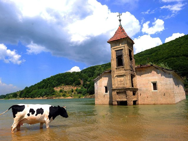 A cow walks through water in front of the submerged church of Saint Nicholas in Mavrovo Lake, some 100 km west from Skopje, Macedonia on June 14, 2014. The church of St Nicholas was intentionally flooded in 1957 during the creation of an artificial lake designed to supply water to a local power plant. (Photo by Robert Atanasovski/AFP Photo)