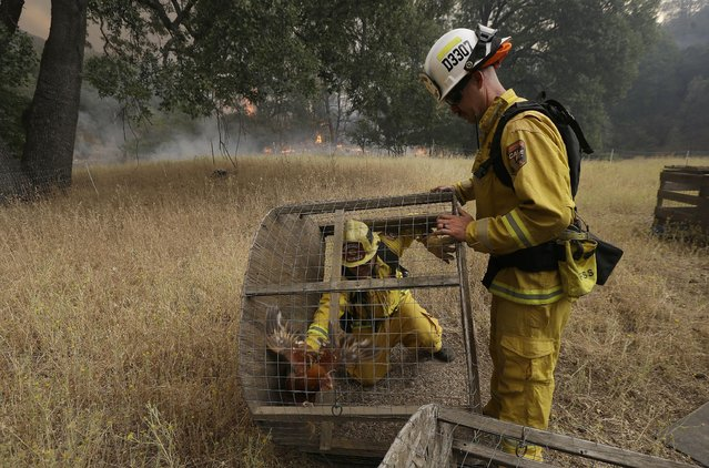 Cal Fire Division Chief Nick Schuler, left, helps engineer Johnny Miller release a rooster from a cage on a property off of Morgan Valley Road near Lower Lake, Calif., Friday, July 31, 2015. (Photo by Jeff Chiu/AP Photo)
