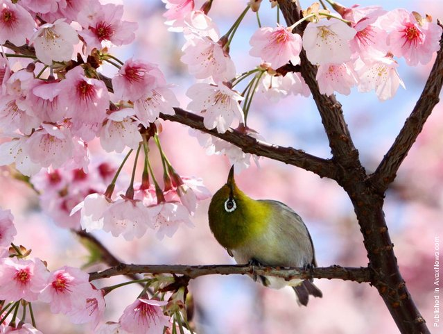 A bird sits in a cherry tree at a park in Tokyo on April 1. Cherry trees bloomed in Tokyo on March 31, 2012, five days later than usual, Japanese authorities announced